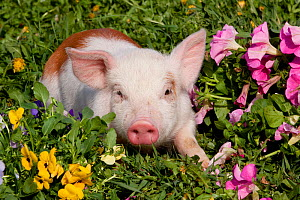 Spotted Piglet in grass, with pink Petunias, and yellow Pansies, Dekalb, Illinois, USA - Lynn M Stone