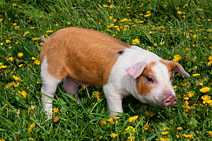 Brown and white Piglet standing in grass, with Dandelions, Dekalb, Illinois, USA  -  Lynn M Stone