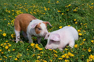Brown and white Piglet sniffing white Piglet in  meadow grass, with Dandelions, Dekalb, Illinois, USA  -  Lynn M Stone