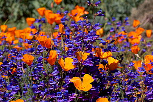Blue Penstemon (Penstemon sp.) flowering with California Poppies (Eschscholzia californica); Southern California, USA  -  Lynn M Stone