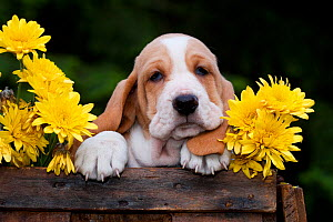 Basset puppy with yellow Chrysanthemums in antique wooden box. USA. - Lynn M Stone