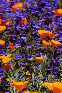 Blue Penstemon (Penstemon sp.) flowering with California Poppies (Eschscholzia californica) Southern California, USA  -  Lynn M Stone