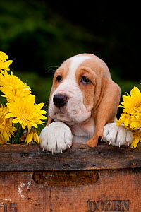 Basset puppy head portrait with yellow Chrysanthemums in antique wooden box. - Lynn M Stone