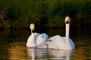 Whooper Swan (Cygnus cygnus) breeding pair on water with cygnet; captive - Lynn M Stone