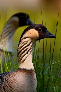 Hawaiian Goose / Nene (Branta sandvicensis) head portrait, captive. - Lynn M Stone