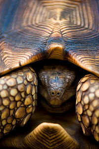 Ploughshare / Angonoka tortoise (Geochelone yniphora), one of the most endangered turtles in the world, Baie de Baly National Park, North west Madagascar. - Inaki Relanzon