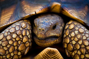 Ploughshare / Angonoka tortoise (Geochelone yniphora), one of the most endangered turttles in the world, Baie de Baly National Park, North west Madagascar.  -  Inaki Relanzon