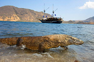 Komodo dragon (Varanus komodoensis), with sailing-boat in background. Rinca Island, Komodo National Park, Indonesia. - David Fleetham
