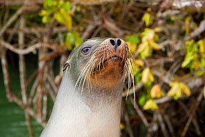 Galapagos sea lion (Zalophus californianus wollebacki) with mangroves behind. Santa Cruz Island, Galapagos Archipelago, Ecuador.  -  David Fleetham
