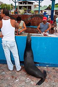Galapagos sea lion, (Zalophus californianus wollebacki) lining up at fish market on the island of Santa Cruz, Galapagos Archipelago, Ecuador.  -  David Fleetham