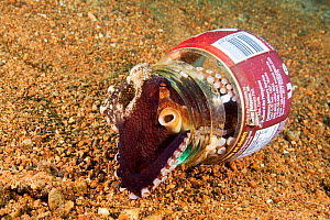 Veined octopus (Octopus marginatus) using discarded bottle for a home, Anilao, Philippines.  -  David Fleetham