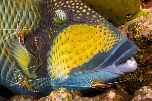 Titan triggerfish (Balistoides viridescens) getting attention of four Scarlet cleaner shrimp (Lysmata amboinensis) off Tulamben, Bali, Indonesia.  -  David Fleetham