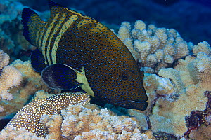 Peacock grouper (Cephalopholis argus) and White mouthed moray eels (Gymnothorax meleagris) hunting together cooperatively, Hawaii.  -  David Fleetham