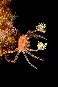 Hawaiian pom-pom / boxer crab (Lybia edmondsoni)with anemones (Triactis sp) that it carries around holding with the claws and using them for defense, waving in front of the possible aggressor. An exam... - David Fleetham