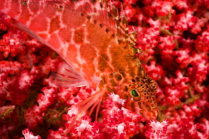 Pixy hawkfish (Cirrhitichthys oxycephalus) in area of rich coral growth. Bali, Indonesia.  -  David Fleetham