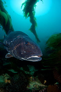 Giant sea bass (Stereolepis gigas), Catalina Island, California.  -  David Fleetham