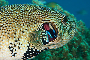 Map pufferfish (Arothron mappa) getting gills cleaned by Cleaner wrasse (Labroides dimidiatus), Philippines. - David Fleetham