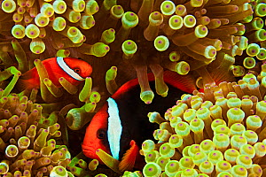 Pair of Tomato anemonefish (Amphiprion frenatus) in Bulb tenacle sea anemone (Entacmaea quadricolor), Philippines. - David Fleetham