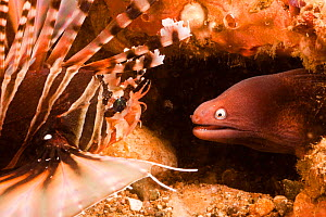 White-eyed moray eel (Muraena thyrsoides) close to Zebra lionfish (Dendrochirus zebra), Philippines.  -  David Fleetham