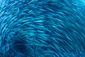 Motion blurred image of school of Brown striped snapper (Xenocys jessiae). Galapagos Islands, Ecuador.  -  David Fleetham