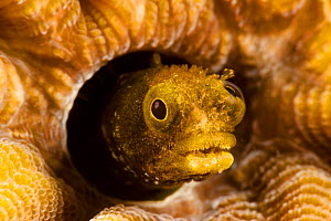 Spinyhead blenny (Acanthemblemaria spinosa) in hard coral, Netherlands Antilles, Bonaire, Caribbean. - David Fleetham