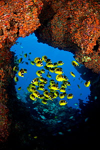 Schooling Raccoon butterflyfish (Chaetodon lunula) framed in a lava formation off the island of Lanai, Hawaii. - David Fleetham