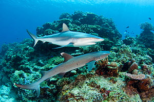 Grey reef shark (Carcharhinus amblyrhynchos) and Whitetip reef shark (Triaenodon obesus) off Mana Island, Fiji. - David Fleetham