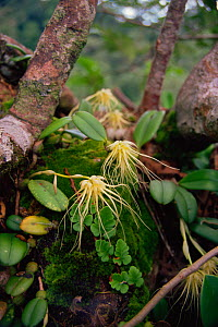 A wild epiphytic orchid growing in the rainforest canopy, Gunung Palung National Park, Borneo, West Kalimantan, Indonesia - Tim Laman