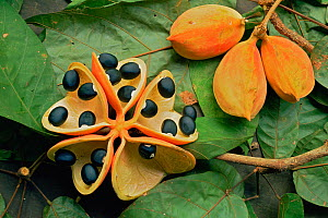 Fruiting pods of Sterculia tree (Sterculia sp) with pod split open to reveal seeds inside. Lowland rainforest, Gunung Palung National Park, Borneo, West Kalimantan, Indonesia.  -  Tim Laman