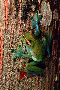 Jade treefrog (Rhacophorus dulitensis) on tree trunk in lowland rainforest , Danum Valley Conservation Area, Sabah, Borneo, Malaysia  -  Tim Laman