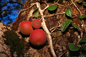 Fruits of a climbing fig (Ficus punctata) - a woody liana that climbs up trunks and branches of large canopy trees in Borneo, Gunung Palung National Park, West Kalimantan, Indonesia. - Tim Laman