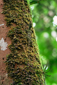 Flying dragon lizard (Draco sp) camouflaged against moss on tree trunk in the rainforest, Gunung Palung National Park, Borneo, West Kalimantan, Indonesia.  -  Tim Laman