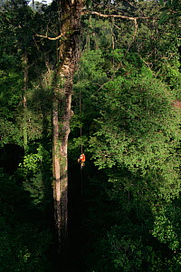 Orangutan researcher, Cheryl Knott, climbing rope into giant canopy tree with stranger fig tree roots growing down its side, Gunung Palung National Park, Borneo, West Kalimantan, Indonesia.  -  Tim Laman