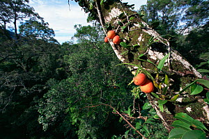 Fruits of a climbing fig (Ficus punctata) - a woody liana that climbs up trunks and branches of large canopy trees, Gunung Palung National Park,  Borneo, West Kalimantan, Indonesia. - Tim Laman