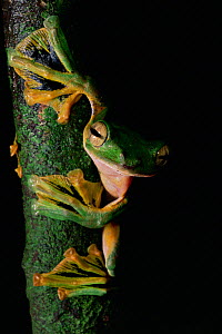 Wallace's flying frog (Rhacophorus nigropalmatus) on tree trunk in lowland rainforest showing webbed feet, Danum Valley Conservation Area, Sabah, Borneo, Malaysia  -  Tim Laman