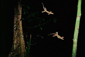Kuhl's flying gecko (Ptychozoon kuhlii) gliding to  small tree in the lowland rainforest, Danum Valley Conservation Area, Sabah, Borneo, Malaysia,  Double exposure of the same lizard on the frame by s... - Tim Laman