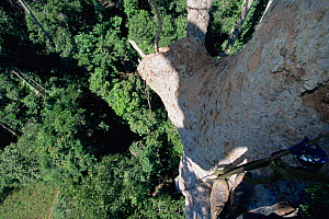 Canopy level view down tree trunk, with photographers feet visible, Gunung Palung National Park, Borneo, West Kalimantan, Indonesia. - Tim Laman
