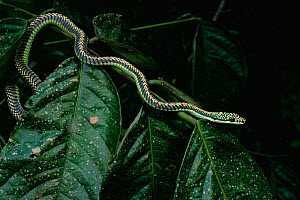 Paradise tree snake (Chrysopelea paradisi) on leafy branch in rainforest, Borneo  -  Tim Laman