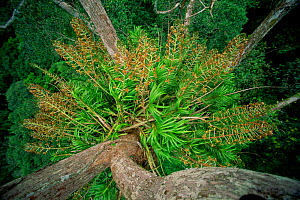 Giant orchid (Grammatophyllum speciosum) growing high in the rainforest canopy in Borneo. This species is the world's largest orchid, with flowering stalks reaching 3 m long. Gunung Palung National Pa... - Tim Laman
