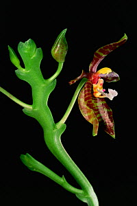 Wild orchid (Phalaenopsis pantherina) in flower from the rainforest of Borneo. Sabah State, Malaysia.  -  Tim Laman