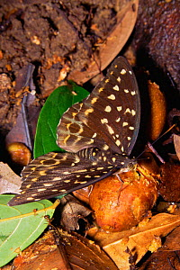 Archduke Butterfly (Lexius sp.) female feeding on rotting fig fruits on the ground in the rainforest. Gunung Palung National Park, Borneo, Indonesia - Tim Laman