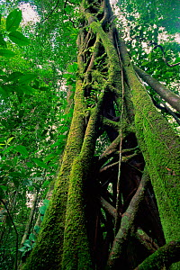 Strangler Fig (Ficus sp.) that has killed its host tree long ago. The host has rotted away, leaving a hollow center. Lowland rainforest in Borneo. Gunung Palung National Park, Indonesia. - Tim Laman