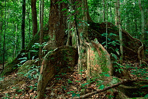A rainforest tree with large buttresses. Gunung Palung National Park, Borneo, Indonesia.  -  Tim Laman