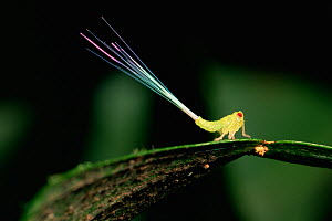 """Plant hopper nymph (superfamily Fulgoroidea) with a false """"tail"""" formed of waxy residue of sugars discharged after the hopper extracts nutrients from sap. The filaments will break away if a bird tries... - Tim Laman"""
