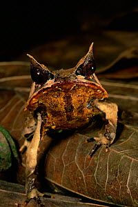 Head portrait of Bornean Horned Frog (Megophrys nasuta) among the leaf litter in the lowland rainforest of Borneo. Danum Valley Conservation Area, Sabah, Malaysia - Tim Laman