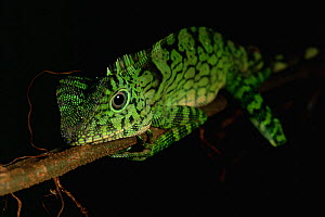 Portrait of a Comb-crested Agamid / Dragon  Lizard (Gonocephalus liogaster) juvenile sleeping on a twig at night in the rainforest of Borneo. - Tim Laman