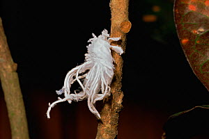 Fulgorid planthopper (family Fulgoroidea) nymph with body covered in secreted white waxy filaments, to conceal it. Borneo, South east Asia - Tim Laman