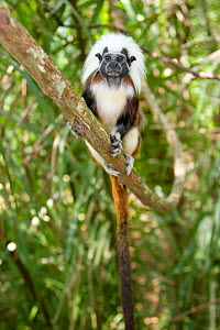 Wild Cotton-top tamarin (Saguinus oedipus) resting on branch in dry tropical forest of Colombia, South America. IUCN List: Critically Endangered  -  Lisa Hoffner