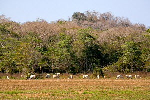 Cattle grazing up to dry tropical forest edge. This pasture was once prime Cotton-top tamarin (Saguinus oedipus) habitat. Colombia, South America. Febuary 2008  -  Lisa Hoffner