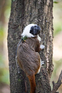 Wild Cotton-top tamarin (Saguinus oedipus) wearing a radio-collar, climbing the trunk of a tree in dry tropical forest of Colombia, South America IUCN List: Critically Endangered  -  Lisa Hoffner